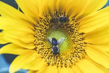 Free Two Bees On Yellow Flower Royalty Free Stock Photos - 126191998