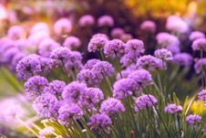 Free Selective Focus Photography Of Purple Petaled Flowers Royalty Free Stock Image - 126192166