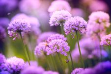 Free Selective Focus Photography Of Purple Allium Flowers Stock Photography - 126192992