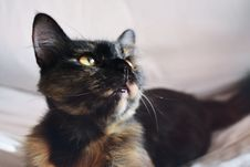 Free Selective Focus Photography Of Calico Cat Stock Images - 126193044