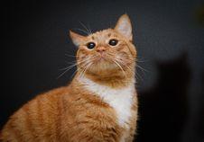 Free Orange And White Tabby Cat Royalty Free Stock Photos - 126193138