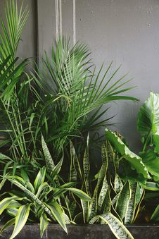 Free Snake Plant Beside Taro And Palm Plant Near Gray Wall Stock Image - 126193351