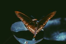 Free Macro Photography Of Spicebush Swallowtail Butterfly Stock Images - 126193654