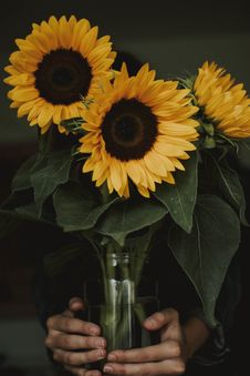 Free Person Holding Three Common Sunflowers In Vase Royalty Free Stock Photography - 126193897