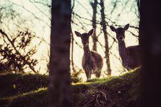Free Two Doe In Forest Royalty Free Stock Images - 126194319