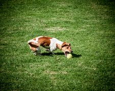 Free Adult Jack Russell Terrier Playing Ball Stock Photo - 126194430