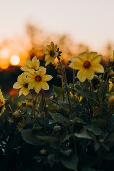 Free Photo Of Yellow Flowers With Green Leaves Royalty Free Stock Photography - 126194447