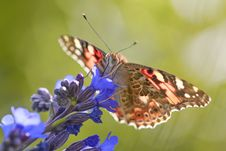 Free Close Up Photo Of Vanessa Atalanta Butterfly Perched On Purple Flower Royalty Free Stock Image - 126194556