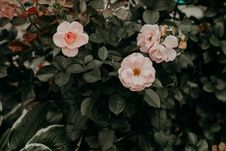 Free Selective Focus Photo Of Pink Rose Flowers Stock Photography - 126194742