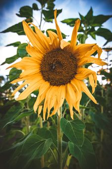 Free Yellow Sunflower Close-up Photography Royalty Free Stock Photos - 126194908