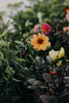 Free Selective Focus Photo Of Orange Dahlia Flower Stock Image - 126194991