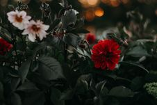 Free Two White And Red Petaled Flowers Royalty Free Stock Photo - 126195255