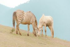 Free Zebra Eating Grass Royalty Free Stock Photos - 126195418