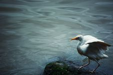 Free White Bird On Black Stone Near Body Of Water Royalty Free Stock Photography - 126195487