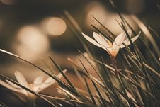 Free Selective Focus Photography Of White Crocus Flower Stock Photography - 126195772