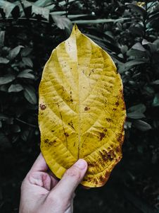 Free Person Holding Yellow Leaf Stock Photography - 126195882