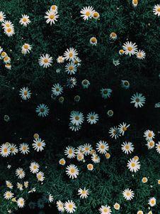 Free Daisy Flowers Royalty Free Stock Image - 126196226