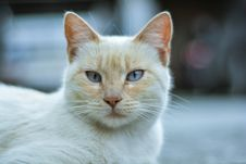 Free Closeup White And Orange Cat Royalty Free Stock Photography - 126196297