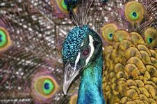 Free Close-up View Of A Peacock Head Stock Images - 126245534