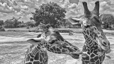 Free Giraffe S Head Close To Another Giraffe S Neck Stock Photo - 126245780