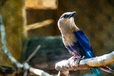 Free Indian Roller Bird Perched On Branch Of Tree Royalty Free Stock Images - 126245799