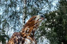 Free Close-Up Photography Of Eagle Royalty Free Stock Images - 126246079