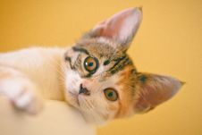 Free Focus Photo Of Short-fur White, Black, And Orange Cat Stock Photo - 126246080