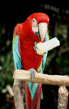 Free Blue-and-red Macaw Perching On Branch Royalty Free Stock Images - 126246219