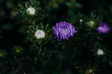 Free Purple Chrysanthemum Flowers In Close-up Photo Stock Photo - 126246310