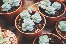 Free Green Succulent Flowers On Pot Stock Images - 126246464