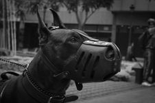 Free Close-Up Photo Of Doberman Pinscher With Black Muzzle Royalty Free Stock Images - 126404039