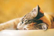 Free Shallow Focus Photography Of Calico Cat Royalty Free Stock Photos - 126404498