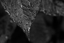 Free Grayscale Photo Of Wet Leaf Stock Photo - 126543670