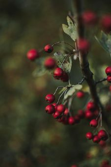Free Selective Focus Of Red Berries Stock Photos - 126543753