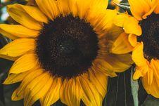 Free Close-up Photo Of Sunflower Stock Photos - 126543823