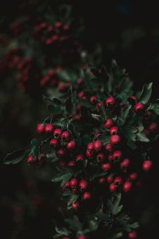 Free Close-up Of Red Berries Stock Photo - 126543840