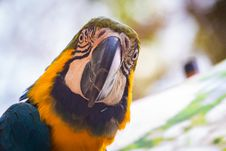 Free Blue And Yellow Macaw Royalty Free Stock Image - 126652786