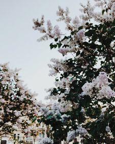 Free White Sakura Tree Stock Photos - 126807913