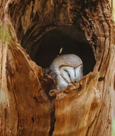 Free White And Gray Owl In Tree Trunk Stock Photo - 126807990