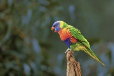Free Selective Focus Photography Of Rainbow Lorikeet Stock Images - 126807994