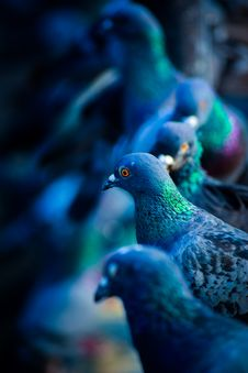 Free Flock Of Green-and-blue Pigeons Royalty Free Stock Photo - 126808095
