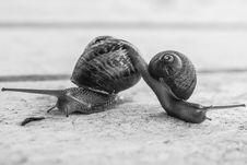 Free Gray Scale Photo Of Two Snails Stock Photos - 126808153