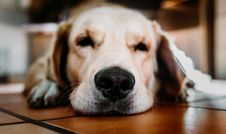 Free Yellow Labrador Retriever Close-up Photography Stock Images - 126808164