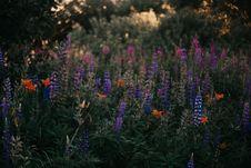 Free Purple Lupine Flowers Stock Photography - 126808212