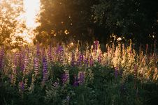 Free Purple Lupine Flowers Stock Images - 126808304