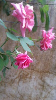 Free Beautiful Pink Rose Stock Photo - 126829640