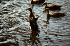 Free Five Brown Ducklings On Water Stock Photography - 126898202