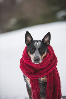 Free Dog Wearing Crochet Scarf With Fringe While Sitting On Snow Selective Focus Photography Royalty Free Stock Photo - 126898205