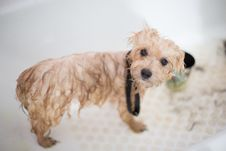 Free Cream Toy Poodle Puppy In Bathtub Royalty Free Stock Images - 126898209