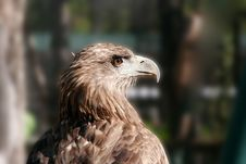 Free Young Eagle Stock Images - 1270234